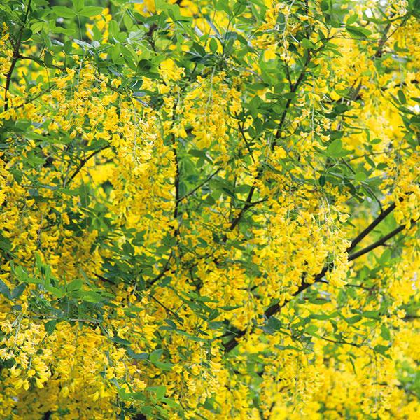Záplava kvetinových strapcov  Štedrec (Laburnum anagyroides) predstavuje vyšší ker až menší strom, ktorý je najkrajší počas kvitnutia vdruhej polovici jari. Ide oeurópsku, mimoriadne prispôsobivú anenáročnú drevinu. Na slnku, vovýživnej amierne vlhkej (nie podmáčanej) pôde môže dorásť až do výšky 6 m. Vyniká predovšetkým svojimi nádhernými žiarivo žltými strapcovitými súkvetiami. Je vhodná ako solitér pred dom aj do zadnej časti záhrady do skupiny sinými drevinami. Nie je pestovateľsky náročná ana rozdiel od iných drevín si nevyžaduje rez. Je však jedovatá (najviac semená), ateda nepatrí do záhrad, kde sa pohybujú deti adomáce zvieratá. Príznačná je aj krehkosť jej konárikov.