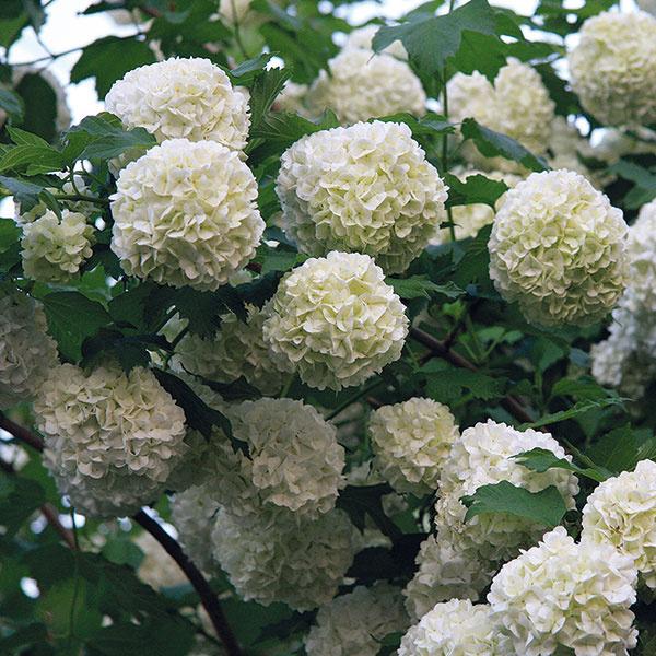 Záplava snehových gúľ  Kalina (Viburnum opulus 'Sterile'), ktorá je atraktívna svojimi príjemne voňajúcimi snehobielymi guľovitými súkvetiami, predstavuje asi najkrajší na jar kvitnúci ker. Vysadená pri plote, vskupine sinými drevinami či vo väčšej predzáhradke je naozaj bezkonkurenčná. Hodí sa do problematických kútov amôže plniť aj úlohu dlhovekého solitéra. Dorastá až do výšky 3 m ašírky 2 m. Vyžaduje si slnko alebo polotieň, priepustnú aúrodnú pôdu. Je ideálna ipre začiatočníkov adobre znáša aj znečistené ovzdušie. Viac ako vmeste však vynikne pri vidieckom dome. Bonusom je pekné sfarbenie listov na jeseň.