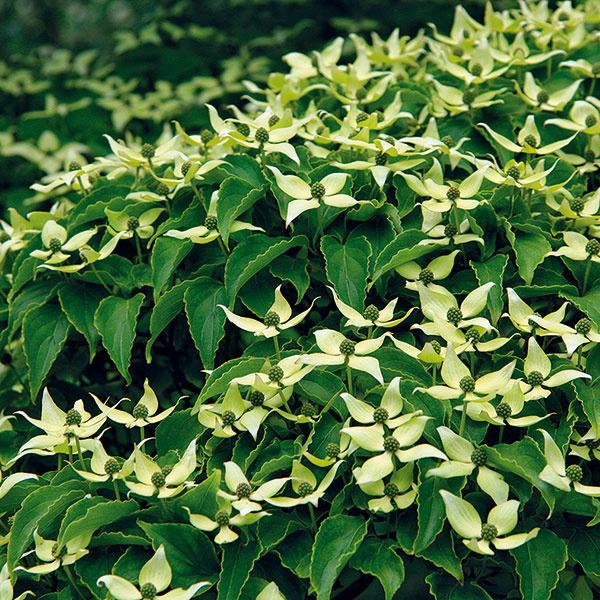 Sexotickým nádychom  Drieň (Cornus kousa) sposchodovito usporiadanými konármi asúkvetiami obklopenými bielymi listeňmi ocenia najmä milovníci japonských záhrad (zJaponska aj pochádza). Táto mrazuvzdorná drevina každoročne koncom jari veľmi bohato zakvitá avideálnych podmienkach sa nej objavujú aj plody podobné jahodám. Predpokladom pestovateľského úspechu je slnečné miesto (vpolotieni kvitne menej), mierne vlhká, kyslá avýživná pôda. Ker rastie pomaly, pričom môže dosiahnuť výšku 3 m ašírku 2 m. Krásny je vkombinácii sinými na jar kvitnúcimi krami, vblízkosti rododendronov aazaliek, vpozadí jazierok aj ako solitér. Na jeseň zaujme farbou listov – od karmínovej po vínovočervenú.