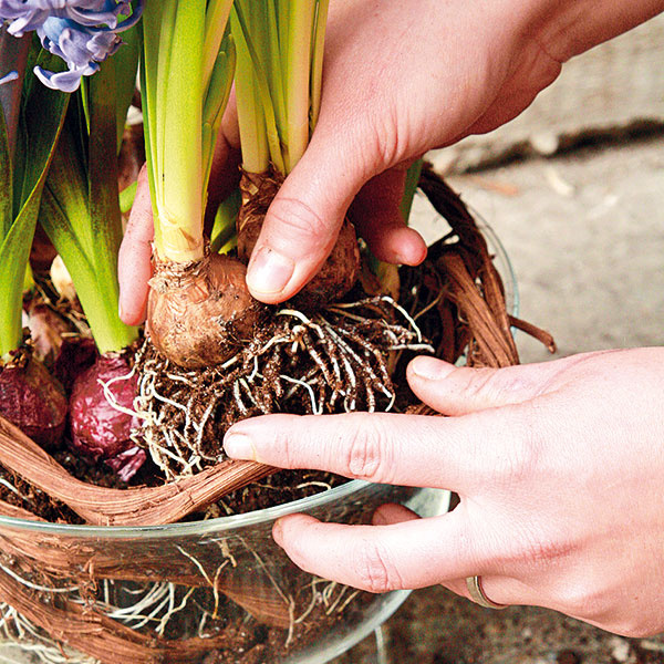 Postupne vložte jednotlivé cibuľoviny. Začnite najvyšším narcisom ahyacintom apokračujte zakrpatenými tulipánmi.