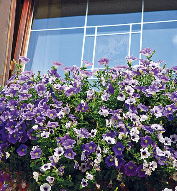 Vmáji si ešte môžete do okenných debničiek, závesných košov či nádob na balkóny vysadiť kvitnúce letničky. Výber rastlín prispôsobte podmienkam daného miesta. Vysadiť si môžete jeden druh alebo hneď viacero. Rastliny vjednej nádobe však musia mať rovnaké požiadavky na svetlo avlahu. Základom úspechu je dostatočne veľká nádoba sodtokovými otvormi, prípadne praktická samozavlažovacia. Nevyhnutný je aj kvalitný substrát na kvitnúce balkónové rastliny. Ideálne je, ak obsahuje bentonit (viaže živiny) ahydrogél (postupné uvoľňovanie vody). Do substrátu možno ešte zakomponovať hnojivo spostupným uvoľňovaním živín.