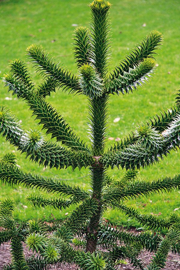 Počas neskorej jari si do záhrady môžete vysadiť aj netradičný ihličnan, napríklad dáždnikovec alebo araukáriu. Uvažovať okúpe araukárie (Araucaria araucana) je však vhodné len za predpokladu, že bude po výsadbe chránená pred zimným slnkom amrazivým vetrom pri stene domu. Táto exoticky pôsobiaca drevina patrí medzi najstaršie rastliny na svete avo svojej domovine dorastá až do výšky 50 m, unás sotva 10 m. Predpokladom úspešného pestovania je aj mierne vlhká pôda snízkym obsahom vápnika. Táto vždyzelená drevina si vyžaduje aj zazimovanie (minimálne vprvých rokoch po výsadbe). Araukárie sa vysádzajú vždy skoreňovým balom.