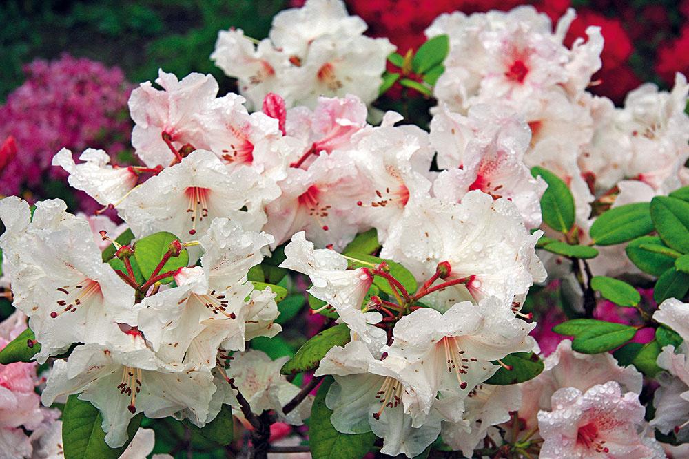 Rododendrony skoreňovým balom si môžete vysadiť aj teraz – dokonca aj tesne pred kvitnutím, prípadne čiastočne zakvitnuté. Potrebujú polotieň, vlhkejšie miesto akyslejší substrát. Vysádzajú sa pod hlboko koreniace dreviny, ktoré im zpôdy neodoberajú vlahu. Neraz je efektívne vymeniť pôdu na mieste, kde majú byť vysadené – použiť možno substrát na pestovanie azaliek arododendronov. Vponuke nájdete aj druhy znášajúce vápnik vpôde – rododendrony Inkarho. Po výsadbe je nevyhnutné ich dobre zaliať odstátou vodou apôdu vich okolí namulčovať drvenou kôrou. Pôda vokolí rododendronov sa nesmie okopávať.