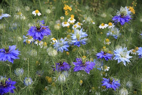 Vidiecku záhradu spestríte krásne kvitnúcimi černuškami (Nigela damascena). Do mierne vlhkej pôdy ich možno vysiať ešte aj teraz. Koncom leta ešte stihnú rozkvitnúť. Usušené plody môžu byť vkusnou dekoráciou interiéru.