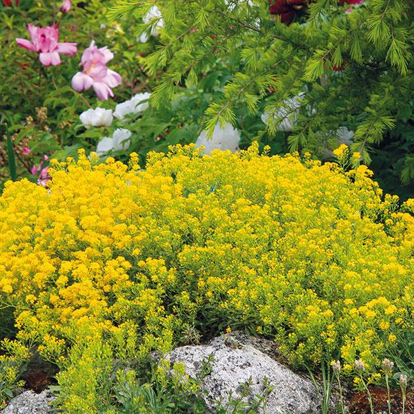 Tarice (Alyssum saxatile) sú žiarivožlté kvitnúce skalničky, ktoré môžete nájsť aj vo voľnej prírode. Sú absolútne pestovateľsky nenáročné (ich pestovanie zvládne aj začiatočník) adlhoveké. Vytvárajú ružicu striebristých podlhovastých listov, kvety sa na nich objavujú vapríli amáji (rastlina je včase kvitnutia vysoká asi 25 cm). Kultivar 'Compactum' sa vyznačuje menším akompaktnejším rastom. Tariciam neprekáža sucho, silné slnko ani teplo, nádherne sa rozrastú vskalkách aj múrikoch. Už pri výsadbe je ale dobré myslieť na to, že sa budú rozširovať do okolia. Vysádzajú sa počas celého vegetačného obdobia skoreňovým balom, dobre sa rozmnožujú delením starších trsov.