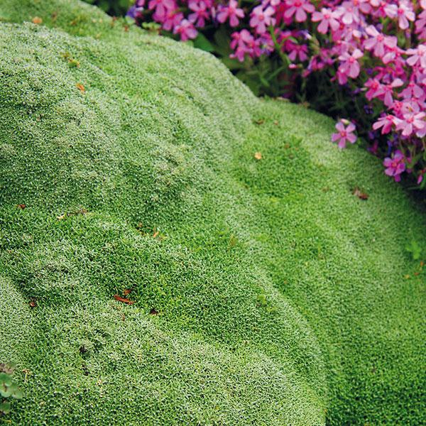 Vskalke by nemali chýbať ani gypsomilky (Gypsophyla). Mnohé znich krásne kvitnú, napríklad nízka Gypsophyla cerastioides pochádzajúca zHimalájí, ktorá tvorí riedke trsy. Niektoré druhy sú dekoratívne najmä svojím hustým olistením aatypickým vankúšovitým rastom, napríklad Gypsophyla aretioides, ktorá je skutočnou raritou. Spojenie tejto nenáročnej amimoriadne efektnej skalničky skameňmi je vskutku skvostné (dokonca aj kvitne drobnými bielymi kvetmi). Gypsomilky sa rýchlo rozrastú na slnečnom mieste avsuchšej pôde sobsahom vápnika. Rozmnožujú sa delením trsov skoro na jar alebo odrezkami. Je vždy lepšie vysádzať ich skoreňovým balom.