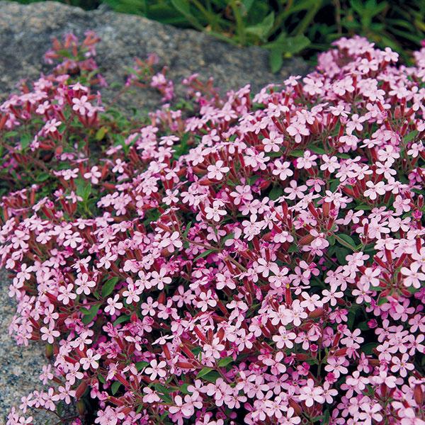Mydlica (Saponaria ocymoides) rastie pôvodne na slnečných skalnatých akamenistých miestach Álp. Videálnych podmienkach sa pekne rozrastá avytvára asi 20 cm vysoké, skôr redšie trsy, ktoré sú najkrajšie včase kvitnutia (vzáplave drobných, najčastejšie ružových kvetov sa listy úplne strácajú). Kvitne vmáji azačiatkom júna. Mydlica má poliehavé stonky, preto môže vytvárať krásne previsy, plaziť sa medzi kameňmi aporastať škáry. Ide odlhovekú, pestovateľsky nenáročnú rastlinu, ktorá dobre znáša sucho ateplo. Najkrajšie kvitne vpôdach svyšším obsahom vápnika. Po odkvitnutí sa veľmi dobre rozmnožuje delením trsov aobávať sa netreba ani jej rezu.