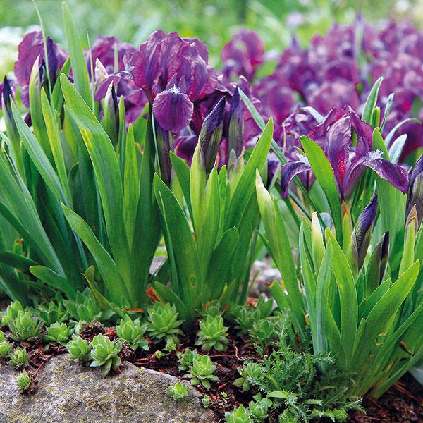 Kosatce sú obľúbené záhradné trvalky – vynikajú množstvom kvetov sýtych farieb ivôňou. Ich prednosťou je pomerne jednoduché pestovanie ato, že sa časom pekne rozrastú. Obľúbený je najmä kosatec nízky (Iris pumila). Ide ominiatúrny druh shrubými podzemkami azakrpatenými mečovitými listami. Kvety kosatcov môžu byť fialové, žlté alebo purpurové. Najlepšie sa im darí na suchších slnečných miestach spriepustnou zásaditou pôdou. Včase kvitnutia (často už vapríli) sú neprehliadnuteľné, preto im vyhraďte viditeľné miesto aj dostatok priestoru, keďže sa rýchlo rozrastajú do okolia. Rozmnožujú sa vlete delením. Efektné sú aj pri brehoch jazierka vybudovaného vskalke.