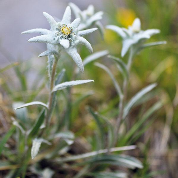Plesnivec (Leontopodium alpinum) patrí takpovediac kpovinnej výbave mnohých skaliek. Jeho pestovanie síce nie je zložité, bohaté kvitnutie je však vždy zaslúžené. Krásne rozkvitá len na suchých aslnečných miestach svápenatou pôdou sobsahom piesku. Nevyhnutná je aj dobrá drenáž, vďaka čomu sa pri koreňoch rastliny nebude hromadiť nadbytočná vlhkosť. Ak by sa vysadil do bežnej zeminy, bude málo kvitnúť anevytvorí kompaktné trsy. Plesnivec kvitne začiatkom leta akvety na ňom zotrvávajú pomerne dlhý čas. Vostatných obdobiach zaujme striebristým sfarbením listov. Plesnivec upúta aj vkamennom múriku. Vysádzať ho možno podobne ako ostatné skalničky na jar skoreňovým balom.