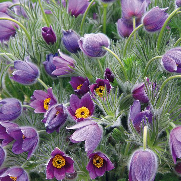 Poniklec jarný (Pulsatilla vernalis) patrí medzi domáce druhy, ktoré môžete nájsť na slnečných vápencových skalách. Zprírody sa síce nesmie brať, nájdete ho však aj vzáhradníctvach. Najčastejšie sa vskalkách pestujú fialovo kvitnúce kultivary, vzácnosťou však nie sú ani tie sbielymi, ružovými či takmer červenými kvetmi. Poniklec miluje slnko, teplo asuché, prípadne mierne vlhké miesta svápenitou či štrkovou pôdou. Ide odlhovekú, asi 30 cm vysokú iširokú akaždoročne bohato kvitnúcu rastlinu, ktorá po odkvitnutí vytvára páperovité súplodia. Aby vynikla, potrebuje okolo seba dostatok miesta – ideálne vpopredí skalky. Tam, kde ju raz zasadíte, by mala zostať. Neznáša totiž presádzanie.