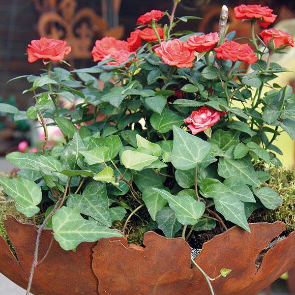 Miniatúrne RUŽE  Veľmi sa mi páčia miniatúrne ruže, dokonca mám doma niekoľko druhov, no málo kvitnú. Ako sa mám one správne postarať?  (L. N., Bratislava)  Miniatúrne ruže nie sú pestovateľsky veľmi náročné. Ich výhodou je kompaktný tvar. Obvykle sú husto olistené speknými kvetmi, ktoré môžu byť rôzne veľké – od úplne maličkých až po veľké, pričom práve veľkokveté druhy sú vposlednom čase najžiadanejšie. Miniatúrnym ružiam sa dobre darí na balkóne aj terase, dokonca aj vkvetinovom záhone (niekde vpopredí). Mali by mať kyprý výživný substrát (použiť môžete ten špeciálne namiešaný na ruže). Uprednostňujú slnečné ateplé miesta, najhoršie kvitnú vtieni. Pôda pod nimi by mala byť stále mierne vlhká atakisto je potrebné tieto rastliny raz za dva týždne prihnojiť špeciálnym hnojivom na ruže. Zkríkov je nevyhnutné pravidelne odstraňovať suché ažlté listy, čo je zároveň výbornou prevenciou pred hubovými ochoreniami. Po odkvitnutí je dobré rastliny radikálnejšie zrezať.