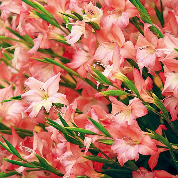 Krajšie kvety GLADIOL    Zbožňujem gladioly, nikdy sa mi ale nepodarilo dopestovať také krásne kvety, aké sú vpredaji počas leta na trhoviskách či vkvetinárstvach. Úspešne pestujem mnohé trvalky aletničky, neviem ale, či niekde vprípade gladiol nerobím chybu. Včom spočíva tajomstvo ich úspešného pestovania?      (R. K., Košice)  Aby gladioly pekne kvitli, je nevyhnutné zohľadniť celý komplex faktorov. Niekedy stačí zanedbať jeden acelá snaha sa zmarí. Gladiolám prospieva hlinitopiesočnatá pôda, nedarí sa im vpodmáčanej alebo kamenistej. Potrebujú slnečné miesto vzávetrí – nikdy by sa ale nemali na jednom mieste pestovať viac ako tri roky. Predpokladom úspechu je aj to, aby bola pôda včase výsadby (vdruhej polovici apríla) zohriata na aspoň 10°C. Asi dva týždne pred výsadbou gladiol sa odporúča zapracovať do pôdy aj dusíkaté vápno, ktoré čiastočne zabráni rozvoju hubových chorôb apôsobeniu škodcov. Hľuzy gladiol sa vysádzajú do hĺbky aspoň 10 cm, vsuchších oblastiach pokoj