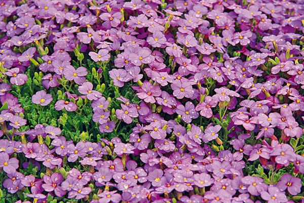 Farebný KOBERČEK    Nedávno som videla prekrásne rozkvitnutý kvetinový múrik, vktorom dominovala bohato kvitnúca kobercová skalnička sfialovými kvetmi. Skalku nemám, no zvažujem vytvorenie štrkového záhona vpredzáhradke. Páčilo by sa mi, ak by táto rastlina pokryla plochu okolo levandule. Bolo by to možné?   (Z. G., Pezinok)  Určite áno. Pravdepodobne ide otaričku (Aubrieta deltoidea), obľúbenú apestovateľsky nenáročnú skalničku, respektíve plazivú trvalku, ktorá na jar každoročne bohato kvitne tak, že nevidno lístky. Najkrajšie kvitne na slnečných miestach, ideálne shlinitopiesočnatou pôdou. Jej prednosťou však je, že pekne kvitne aj vmenej vhodnej pôde – na štrkových záhonoch či vškárachkvetinových múrikov, teda tam, kde je sucho aúpal. Aby ste docielili jej každoročné bohaté kvitnutie, hneď po odkvitnutí taričku radikálne zrežte, odstráňte odumreté zvyšky kvetov alisty amierne ju prihnojte viaczložkovým hnojivom určeným na trvalky (skalničky). Počas celej jari avlete z