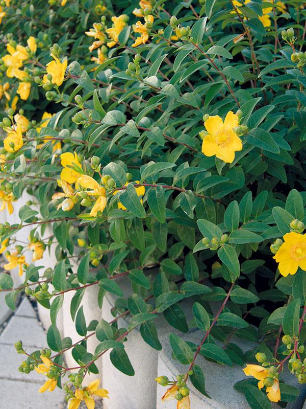 KVITNÚCE KRY na terasu  Aké nízke vlete kvitnúce kry by bolo vhodné vysadiť pri terase? Rada by som si miesto vjej okolí spríjemnila niečím dlhšie kvitnúcim, napríklad aj drevinou, ktorá má voňavé kvety. Sčím ďalším ich môžeme skombinovať?   (M. J., Malacky)  Na slnečnom mieste svýživnou pôdou dobre porastie bradavec (Caryopteris clandonesis), nátržník (Potentilla fruticosa), tavoľník (Spiraea japonica), levanduľa (Lavandula angustifolia) aveľmi pekný je aj ľubovník (Hypericum calycinum), prípadne niektorá znižších ruží. Okrem týchto krov tu môžu pekne pôsobiť aj niektoré letničky, napríklad nocovka (Mirabilis jalapa), ktorá rozkvitá večer avnoci, pričom nádherne vonia. Vysadiť si ju môžete na záhony kterase alebo do nádob. Vhodné sú aj nižšie či stredne vysoké georgíny, ktoré zároveň terasu jemne opticky oddelia od okolia. Opríjemnú arómu sa postarajú aj šalvie, pamajorán, santolína či kocúrnik. Netreba zabúdať, že každá zvysadených rastlín by mala mať okolo seba dostatok p