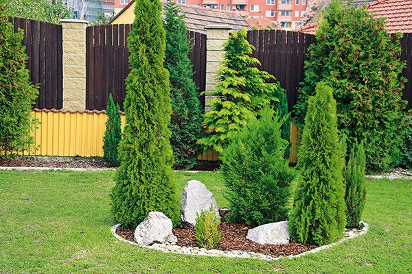 OSTROVČEK sdrevinami  Vstrede trávnika by som rada vybudovala ostrovček, okolo ktorého sa bude dať zoboch strán prejsť. Mal by slúžiť na čiastočné blokovanie pohľadov zulice (máme dlhý aúzky pozemok). Keďže bývame na severnom Slovensku, základ môžu tvoriť ihličnany aj listnáče. Vzadnej časti záhrady máme aj ovocný sad. Ide oslnečné miesto srozmermi asi 7 × 7 m. Prosím oradu, aký tvar by mal ostrovček mať, aké dreviny zvoliť ačo vysadiť pomedzi ne?     (Ľubomíra P., Zbyňov)  Záhon môže mať pravidelný aj nepravidelný tvar. Keďže ide pravdepodobne ostaršiu záhradu na vidieku, zvolil by som ten nepravidelný (teda nie napríklad kruh). Základom kompozície by mali byť vyššie, stredne vysoké inižšie dreviny, farebne aj tvarovo rozmanité, aby išlo ovizuálne zaujímavý anielen účelný celok. Do pozadia ostrovčeka by som situoval kužeľovitý smrek pichľavý (Picea pungens 'Glauca'). Je dominantný apúta striebristým vyfarbením, ale treba počítať stým, že vdospelosti narastie do výšky