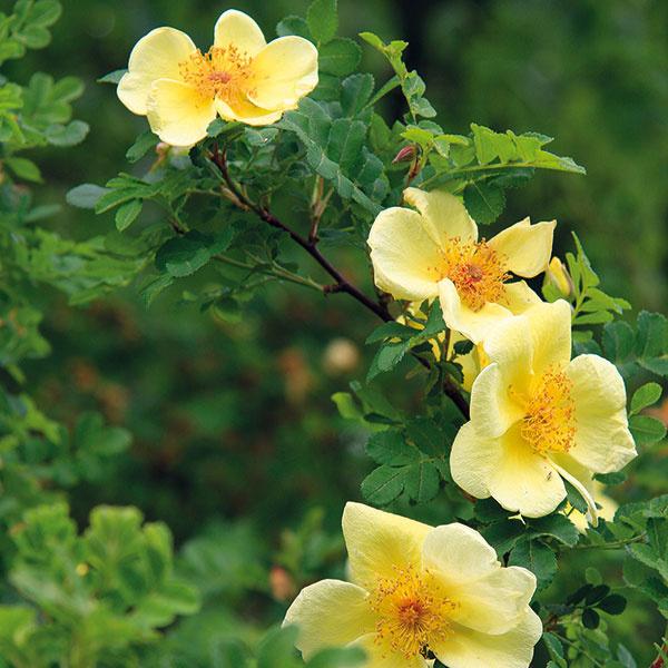 Koncom jari rozkvitá vzáhrade pôvabná menej častá ruža Hugova (Rosa hugonis).