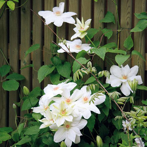 Plot záhrady počas leta zdobí kvitnúci plamienok.