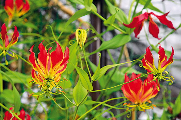 Roztopašná glorióza   V kvetinárstvach často nájdete popínavú rastlinu s exotickým vzhľadom gloriózu (Gloriosa superba), ktorá kvitne najmä v lete. Hoci jej pestovanie nie je náročné, končí sa neraz neúspechom. Najvhodnejšie je pestovať túto krehko pôsobiacu rastlinu v interiéri, vo svetlej a teplej miestnosti (ideálne so strešným oknom), no súčasne ju možno pestovať aj na terase. Od začiatku leta je potrebné výdatne ju zavlažovať, voda ale nesmie obsahovať stopy vápnika. Kvitnutie podporuje aj prihnojovanie raz týždenne. Po odkvitnutí začiatkom jesene začne strácať listy a usychajú jej výhonky. Vtedy ju preneste na prezimovanie do chladnej a svetlej miestnosti.