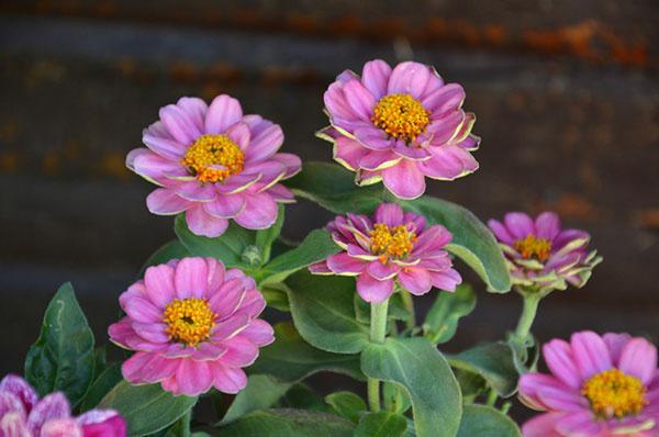 Cínia (Zinnia) Ide o jednu z najčastejšie pestovaných letničiek v našich záhradách. Je to veľmi nenáročná rastlina. Ak chcete, aby sa vám odvďačila žiarivými kvetmi, musíte ju vysadiť na slnečné a suché miesto. Vyhnite sa veľmi vlhkým miestam, kde by cínia mohli odhniť. Nezabudnite na pravidelnú zálievku skoro ráno alebo až podvečer po zájdení slnka.