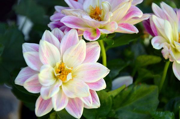 Georgína (Dahlia)  Nízkorastúce georgíny, ktoré dorastajú do výšky 20 cm, sú vhodné na výsadbu do kvetináčov. Tieto letničky kvitnú v záhradách od jari až do prvých jesenných mrazov, pestovateľov teda tešia svojimi kvetmi dlhú časť roka. Georgínam vyhovuje slnečné, prípadne polotienisté stanovište, krajšie kvety ale, samozrejme, vytvoria na slnku.