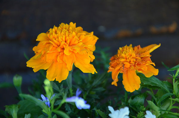 Aksamietnica (Tagetes)   Aksamietnica je letnička, ktorá má rada aj slnečné, aj polotienisté stanovištia. Kvitne až do prvých mrazov a aj po odkvitnutí je z nej veľmi užitočná rastlinka – v zemi sa po jej rozložení vytvorí humus a ten pôsobí ako hnojivo. Vyžaduje si pravidelnú zálievku a rovnako ako v prípade georgín a muškátov treba pravidelne odstraňovať odkvitnuté kvety. Jej kvety sú krásne žiarivé, no ich vôňa nie je príliš vábivá. Práve preto je dobré, ak si ich vysadíte okolo altánkov, na terasách a aj do záhonov. Svojou vôňou odpudzujú hmyz aj škodcov. Najčastejšie ich nájdeme v žltých a oranžových odtieňoch, dokonca aj dvojfarebné.