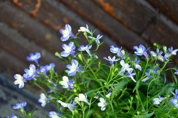Lobelka (Lobelia) Na výsadu do vegetačných nádob a závesných kvetináčov sú vhodné lobelky drobné, ktoré vytvárajú bohato kvitnúce previsy. Patria medzi náročnejšie rastliny – potrebujú častejšie hnojenie. Znesú slnečné aj polotienisté stanovište a vyžadujú si pravidelnú zálievku. Ich kvety majú najčastejšie modrú, fialovú a bielu farbu. Lobelky vzpriamené sa zase zvyknú používať aj v ornamentálnej výsadbe.