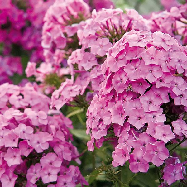 Voňavé podvečery sfloxom  Floxy (Phlox paniculata) sú príťažlivé dlho kvitnúce trvalky, ktoré by nemali chýbať vžiadnom kvetinovom záhone. Vponuke je veľa krásnych kultivarov – nižších ivyšších –  sbielymi, ružovými, fialovými či viacfarebnými kvetmi. Tam, kde má flox dobré podmienky, vytvára rozľahlé podvečer sladko voňajúce súkvetia. Flox kvitne od konca jari prakticky až do jesene. Najlepšie je vysadiť ho do pozadia alebo stredu záhona, veľmi dobre sa znáša sostatnými trvalkami. Vyžaduje si výživnú, priepustnú, mierne vlhkú pôdu avzdušné miesto. Menej vhodné sú miesta vtieni, pod stromami či vkútoch atie spiesočnatou pôdou. Rastlinu je dobré počas sezóny prihnojovať, vďaka čomu bude bohatšie kvitnúť. Bonusom trvalky je, že jej kvety lákajú pestrofarebné motýle.