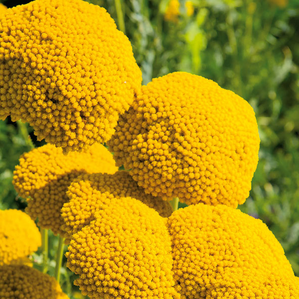 Rebríček do tepla isucha  Na miestach, kde je priveľa slnka asucho, dobre porastie rebríček (Achillea filipendulina). Táto robustne pôsobiaca vyššia trvalka zaujme hustými chocholíkmi pozostávajúcimi zmnožstva zlatožltých kvietkov. Podobne ako flox láka motýle. Na ideálnom stanovišti môžu byť súkvetia tejto trvalky široké až 15 cm. Na rastline vydržia pomerne dlho, vďaka čomu je dekoratívna až do neskorej jesene. Okrem toho je aj príjemne aromatická. Vzhľadom na jej výšku je dobré vysadiť ju do pozadia alebo stredu záhona – tam, kde rastú suchomilné trvalky. Rebríček potrebuje priepustnú (aj suchšiu) málo výživnú pôdu apevnú oporu. Na jar je dobré prihnojiť ho preosiatym kompostom. Rýchlo sa rozrastá akrátko po výsadbe vytvára husto olistené trsy. Rozmnožuje sa na jar delením trsov.