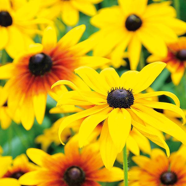 Rudbekia priťahuje slnko    Rudbekia (Rudbekia fulgida) je ideálnou trvalkou nielen do vidieckej, ale aj do mestskej záhrady. Bohato vykvitne aj pri minimálnej starostlivosti, preto ju ocenia najmä zaneprázdnení či začiatočníci. Rastlina vytrvalo kvitne takmer celé leto avytvára nádherné trsy. Rudbekia vykvitá zakrátko po výsadbe arýchlo sa rozrastá. Je však kompaktná, ateda ostatné rastliny veľmi neobmedzuje, vhodné ale je vymedziť jej dostatok priestoru vpopredí alebo strede záhona, aby pekne vynikla. Na jar sa rozmnožuje delením trsov, skoreňovým balom ju môžete vysádzať počas celej sezóny. Potrebuje teplo apriepustnú pôdu (môže byť aj suchšia). Na jar ju môžete prihnojiť preosiatym kompostom. Zaujme najmä vspojení sudržiavaným trávnikom.