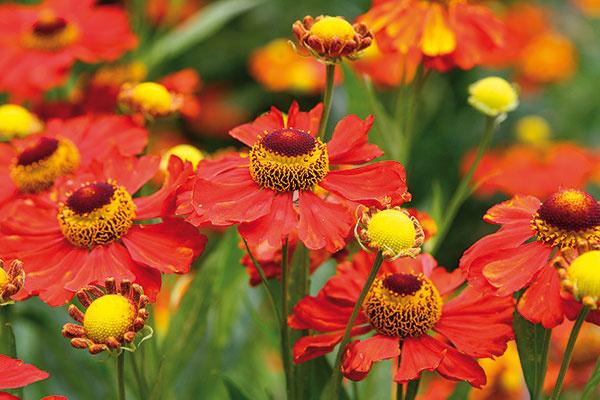 10 najkrajšie kvitnúcich trvaliek