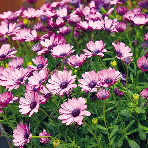 Knajkrajšie práve kvitnúcim letničkám patrí osteospermum. VAfrike, ktorá je jeho domovom, ide otrvalku. Množstvo kvetov ovplyvňuje najmä počasie – rastlina zbožňuje slnko ateplo, neprospieva jej dážď, aak sa zamračí, kvety zostanú zatvorené. Osteospermum potrebuje aj výživný substrát určený na balkónové rastliny, ktorý by mal byť stále mierne vlhký. Predpokladom bohatého kvitnutia je ipravidelný prísun živín (až dva či tri razy týždenne). Nevyhnutné je aj odstraňovanie odkvitnutých kvetov, prípadne zaštipovanie dlhých výhonkov. Pestuje sa vo vegetačnej nádobe na balkónoch aterasách, samostatne alebo vkombinácii smuškátmi či surfíniami.