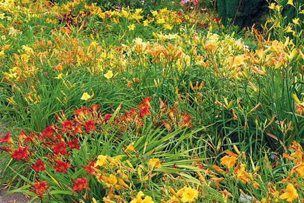 Začiatkom leta sa vzáhrade možno tešiť zkvitnúcich ľalioviek (Hemerocallis). Precíznym výberom rôznych druhov akultivarov si môžete zabezpečiť kvitnutie takmer počas celého leta. Ľaliovka predstavujenenáročnú rýchlorastúcu trvalku, ktorá je vhodná do zmiešaných záhonov, kjazierkam, potokom iplotom. Vyniká elegantným trávovitým rastom adlhovekosťou. Najkrajšie kvitne na slnečnom mieste, neprekáža jej však ani polotieň. Jednotlivé kvety vydržia na rastline iba jeden deň – po odkvitnutí ich treba odstrániť. Ľaliovky potrebujú pravidelný prísun vlahy, prihnojenie na jar apo odkvitnutí. Vysádzať ich možno aj vlete skoreňovým balom. Rastlinu stačí presadiť asi raz za päť rokov.