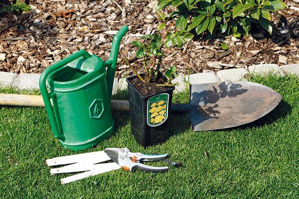 Pripravte si rastlinu apotrebné pomôcky. Záhradnícke nožnice môžete vydezinfikovať, aby ste na ružu pri práci nepreniesli nebezpečné ochorenia. Rastlinu pár hodín pred výsadbou dôkladne zalejte. Na výsadbu si vyberte deň, keď je pod mrakom adá sa predpokladať, že nasledujúce dni budú daždivé. Ruža sa potom rýchlo adaptuje na nové podmienky.