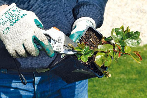 Vprípade nákupu zlacnenej odkvitnutej ruže krík pred výsadbou prezrite aodstráňte všetky suché či poškodené výhonky aodkvitnuté kvety. Prezrieť treba aj kvitnúce rastliny. Ružu následne opatrne vyberte znádoby adajte pozor, aby sa nerozpadol koreňový bal. Následne prezrite aj viditeľné korene atie poškodené či nahnité odstrihnite.