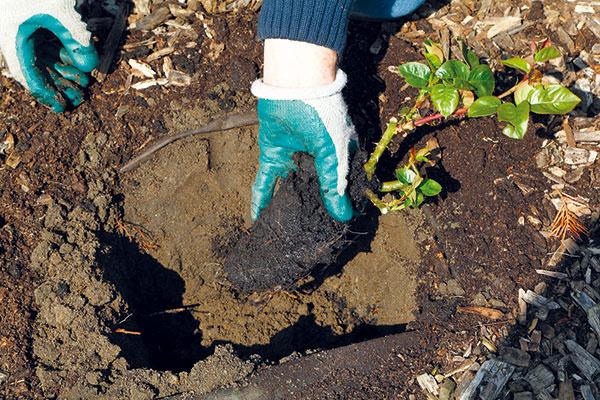 Ružu scelistvým koreňovým balom vložte do výsadbovej jamy. Myslite na to, že ak by sa rozpadol, rastlina by sa zakoreňovala pomaly anemuselo by sa jej to ani podariť. Na dno výsadbovej jamy môžete dať preosiaty kompost, prípadne substrát na pestovanie ruží. Nalejte doň aj trochu vody – zabezpečíte tak dostatok vlahy pre korene počas prvých dní po výsadbe.