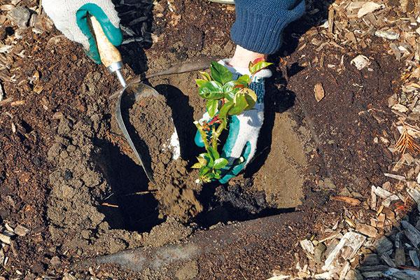Koreňový bal opatrne zasypte zeminou. Oveľa lepší však bude záhradnícky substrát alebo ten na pestovanie ruží, prípadne preosiaty kompost zmiešaný so zeminou. Pri zasypávaní si ružu jednou rukou pridržte adajte si záležať, aby sa zemina dostala do celej jamy. Miesto očkovania (zhrubnutá časť) by malo byť 5 cm pod povrchom pôdy.