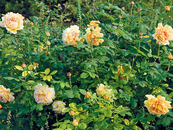 Spestrite si záhradu novou ružou – ako na to