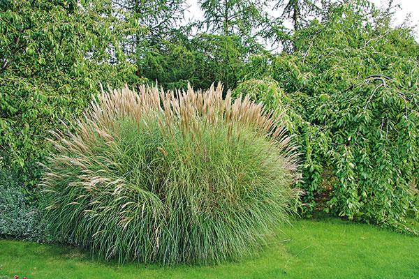 Koncom mesiaca je už vponuke záhradných centier najširšia paleta okrasných tráv. Vybrať si môžete vyššie (ozdobnica čínska, proso), stredne vysoké (perovec, ovsíkovec, bezkolenec) alebo nižšie druhy (kostravy, kavyľ, imperáta, ostrice). Pri nákupe je dôležité vedieť, kam chcete danú trávu vysadiť – vyššie druhy patria vždy do pozadia, nižšie do popredia. Zohľadniť treba aj skutočnosť, že väčšina okrasných tráv potrebuje slnko apriepustnú, nie zamokrenú pôdu. Aby sa trávy krátko po výsadbe zaskveli vplnej kráse, potrebujú aj dostatok miesta. Do záhonov ich preto nie je dobré vysádzať nahusto ani ksebe do skupín umiestňovať príliš veľa kusov. Okrasné trávy sú atraktívne vprítomnosti trvaliek, ale napríklad aj na štrkových plochách či vsusedstve ihličnanov. Vyššie druhy tráv môžu zase spolu sbambusmi slúžiť ako ochrana proti vetru vo veterných záhradách. Pôsobivé sú aj vo vegetačných nádobách aniektoré druhy (kavyľ, kostravy) aj vstrešných výsadbách.
