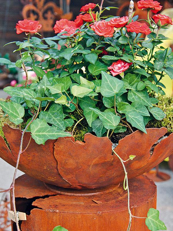 Ruže možno pestovať nielen vzáhradných záhonoch, ale aj vo vegetačných nádobách na balkónoch aterasách. Vnádobách vyniknú najmä stromčekové, miniatúrne akrovité druhy. Vtomto období vzáhradníctvach nájdete širokú ponuku zakvitnutých jedincov, takže si môžete vybrať želaný farebný odtieň, prípadne kultivar skrásne voňajúcimi kvetmi. Po kúpe je dobré ružu zasadiť aj skoreňovým balom do väčšej nádoby skvalitným substrátom. Treba dbať na to, aby bola ruža na slnečnom adobre vetranom mieste. Nevhodné je suché stanovište, kde hrozí extrémna páľava avietor. Črepník sružou je vhodné postaviť tak, aby bol vtieni, prípadne tienený listami iných rastlín. Ružiam totiž prehrievanie substrátu škodí abrzdí ich rast. Najmä vlete je dôležitá pravidelná zálievka, ako aj prihnojovanie špeciálnym hnojivom na ruže. Ak vysádzate vauguste, prihnojovanie nie je potrebné.