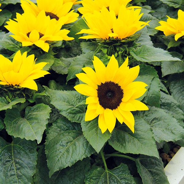 Slnečnice sa sobľubou pestujú nielen na záhonoch, ale aj vo vegetačných nádobách. Svojimi nádhernými energickými kvetmi tak môžu na konci leta prežiariť terasy abalkóny. Kvitnutie im však možno predĺžiť až do jesene. Stačí odstraňovať odkvitnuté kvety, pričom treba dať pozor na drobné puky vúžľabí listov. Nevyhnutné je aj pravidelné zavlažovanie aprihnojovanie. Dôkladne tiež treba kontrolovať zdravotný stav rastlín. Akékoľvek suché ažltnúce listy ihneď odstráňte, pretože môžu byť prvým signálom rôznych hubových ochorení. Postrekovať slnečnice na konci vegetačného obdobia už nemá príliš veľký význam. Príliš napadnuté rastliny je potom lepšie zlikvidovať.