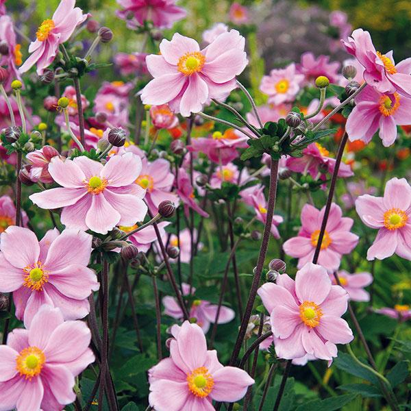 Koncom leta azačiatkom jesene rozkvitajú veternice (Anemone japonica). Sú znakom babieho leta anádherne prežiaria trvalkové záhony napríklad vo vidieckej záhrade. Vzrastovo sú skôr vyššie (podľa druhu akultivaru do 150 cm) ana záhone pôsobia dominantne, no hravo. Ich kvety sú prázdne miskovité, poloplné alebo plné, biele alebo vrôznych odtieňoch ružovej. Bohato kvitnú neraz až do októbra. Najkrajšie sa rozrastú vtieni alebo polotieni, na slnečnom mieste sa im bude dariť iba vtedy, ak budú mať dostatočne vlhkú pôdu. Sú citlivé na trvalé premokrenie, preto nie je dobré veľa ich zalievať. Veternice si vyžadujú humóznu, mierne vápenatú ahlinitú pôdu. Na jar sú povďačné za prihnojenie kvalitným preosiatym kompostom. Aj keď sú pomerne mohutné, nie je potrebné ich podopierať. Napriek tomu, že vponuke sú najmä vtomto období, je lepšie vysadiť si ich na jar. Pri jesennej výsadbe je potrebné zakryť ich čečinou asuchým lístím pred príchodom prvých mrazov. Vo všeobecnosti by sa nemali sa