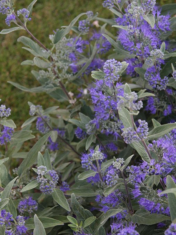 Na jeseň kvitne v záhrade veľa trvaliek, no len minimum krov. Príkladom je bradavec (Caryopteris clandonensis). Tento neveľký, maximálne 1,5 m vysoký krík pochádza z Japonska a Číny a počas celej jesene krásne kvitne. Kvety sú fialovomodré, tvoria sa na jednoročných výhonoch, lákajú užitočný hmyz a dokonale harmonizujú s jemným striebristým olistením. V poslednom čase sa vyšľachtilo množstvo atraktívnych kultivarov, napríklad so sivožltými listami, prípadne s bielym alebo žltkastým olemovaním listov. Ide o teplomilnú drevinu, ktorá potrebuje teplejšie chránené miesto a suchšiu vápenatú pôdu. Na miestach so zamokrenou pôdou sa jej pravdepodobne nebude dariť. Najkrajšie táto drevina rozkvitá na slnečnom mieste. Počas tuhšej zimy môže namrznúť, no po jarnom reze sa dokáže rýchlo zregenerovať. Vynikne ako solitér, nízky živý plôtik, na okraji trvalkových záhonov, v predzáhradkách, ale aj v skalkách. Rastlina je pestovateľsky nenáročná a vhodná aj do väčších vegetačných nádob na terasy.