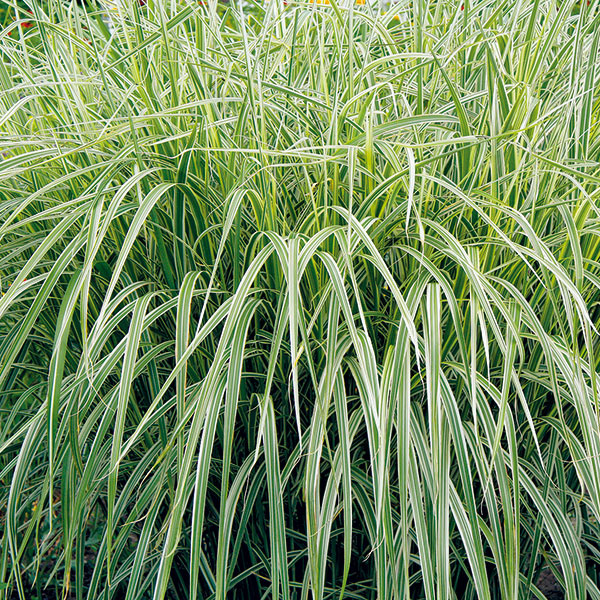 Ozdobnica (Miscanthus sinensis) je rovnako, ak nie väčšmi, obľúbená ako perovec. Ale kým perovec vynikne viac na okraji záhonov, ozdobnica vich pozadí alebo vstrede – rastie totiž vzpriamene, neraz až do výšky 2 m atvorí pomerne husté trsy. Vponuke je množstvo krásnych kultivarov. Vybrať si napríklad možno kultivar 'Variegatus' (na obrázku) svysoko dekoratívnymi bielo panašovanými listami, ktorý rastie oveľa pomalšie ako napríklad najčastejšie pestovaný kultivar 'Gracillimus'. Ten zasa vyniká krásnym kvitnutím počas jesene anádherným medovým sfarbením trsov. Trsy zoschnutých listov sú krásne aj počas zimy, strihajú sa až na jar. Pekný je aj kultivar 'Zebrinus' spriečne pruhovanými listami (striedajú sa bledozelené ažlté pásiky). Ozdobnica potrebuje výživné, hlbšie, mierne vlhké pôdy, slnko alebo mierny polotieň. Na suchom mieste vytvorí výrazne menšie anižšie trsy.