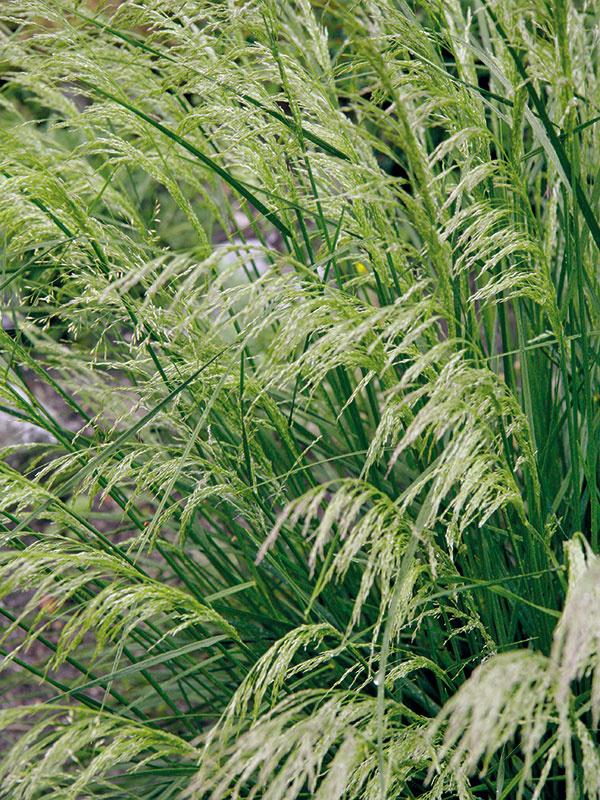 Prírodné záhrady, miesta pod stromami, väčšie vresoviská askalky oživí vďačná metlica (Deschampsia cespitosa). Ide oefektnú trsovitú trávu svýškou asi 50 cm, ktorá najkrajšie vynikne vmenších skupinkách avmenšej záhrade ako solitér. Vobdobí kvitnutia (približne vdruhej polovici júna) môže byť omnoho vyššia – neraz aj 1,5 m. Listy sú tmavozelené, vyrastajú koncom marca asú sčasti zelené aj počas zimy. Nádherné vzdušné súkvetia sa objavujú každoročne vo väčšom množstve, postupne sa vyfarbujú zo zelenkastých do zlatistých odtieňov. Hoci pôsobia krehko, sú pevné. Na rastline vydržia celú jeseň, je však dobré včas ich ostrihať (rastlina sa nežiaduco vysemeňuje). Metlica predstavuje nenáročnú rastlinu – znesie aj sucho, no oveľa viac jej vyhovuje mierne vlhká, výživná askôr kyslejšia pôda, neprekáža jej ani ťažšia pôda. Uprednostňuje slnko, no neublíži jej ani polotieň či dokonca tieň.