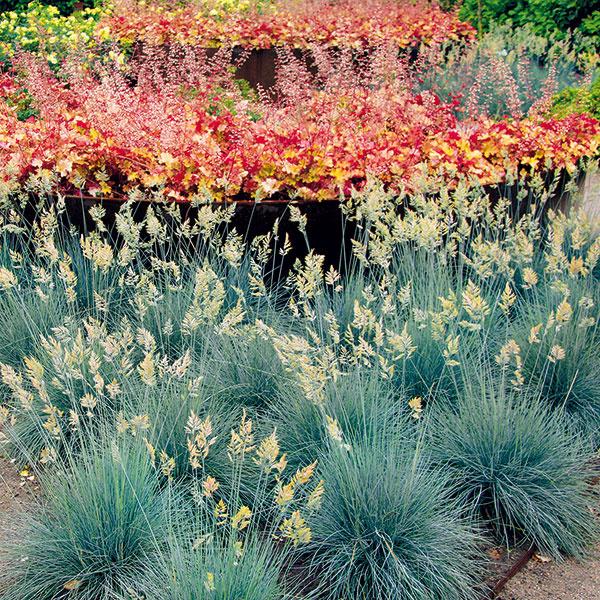 Kostrava (Festuca glauca) sa hrdí efektným oceľovomodrým sfarbením listov a kompaktným rastom, vďaka ktorému je vhodná aj do menších priestorov. Je vysoká asi len 25 cm, rastie vzpriamene acelkom pekne kvitne. Uplatní sa vmoderných záhradách, pričom výborne rastie aj vo vegetačných nádobách. Upúta vštrkových záhonoch (napríklad vkombinácii srozchodníkmi), vskupine sinými okrasnými trávami, na okraji záhonov, na suchých miestach, na svahoch, vpredzáhradkách avúzkych záhonoch. Je tiež výbornou voľbou do strešných záhrad alebo na suché múriky. Najlepšie je vysádzať ju do skupiniek. Vyfarbuje sa na slnečných, teplých asuchých miestach, neprekáža jej kamenistá či štrková pôda. Nedarí sa jej na vlhkých miestach, vpolotieni atieni. Aby pôsobila reprezentatívne, je nutné rozdeliť ju raz za tri až štyri roky amladé rastliny rozsadiť.