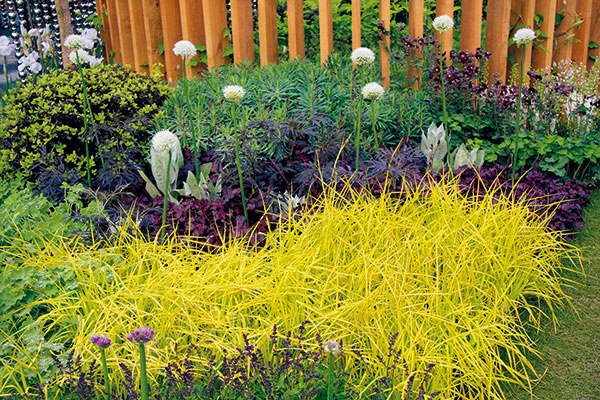 Len málo okrasných rastlín má schopnosť prežiariť záhony výraznou citrónovožltou farbou listov. Jednou znich je pšeníčko (Milium effusum 'Aureum') – menej známa, ale atraktívna výbežkatá tráva svýškou asi 40 cm, ktorej steblá, listy aj súkvetia sú krásne vyfarbené počas celého vegetačného obdobia. Pšeníčko je vhodné do prírodne ladených záhrad, na okraje zmiešaných záhonov aj ako podrast pod stromy akry. Pôsobivé je aj jeho spojenie spapraďorastmi. Na rozdiel od väčšiny ostatných okrasných tráv sa mu viac darí vpolotieni až tieni. Kbezproblémovému rastu potrebuje humóznu, mierne vlhkú apriepustnú pôdu. Je to mrazuvzdorná tráva, ktorá sa jednoducho rozmnožuje delením trsov alebo výsevom semien. Po krátkom čase sa pekne rozrastie, apreto okolo seba potrebuje dostatok priestoru.