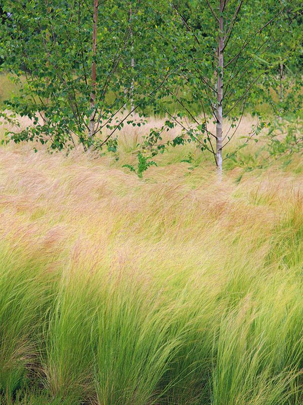 Kavyľ (Stipa tenuissima) vynikne najviac vtedy, ak je vysadený do väčších skupín. Pohľad na porast včase kvitnutia je bezkonkurenčný, navodzuje romantickú náladu. Rastlina vytvára na prvý pohľad vetché, ale pevné približne 30 cm vysoké trsy. Listy sú úzke, sivo- alebo svetlozelené. Počas leta rastlina vykvitne jemnými dlhými ahuňatými súkvetiami, ktoré sa ladne skláňajú do boku avlnia sa. Väčšinou sa objavujú na rastlinách vo veľkom množstve. Kavyľ obľubuje teplé, suché aveterné miesta, neprekážajú mu ani kamenistá pôda či plytko koreniace dreviny (brezy), sktorými dokonca tvorí dobre fungujúce partnerstvo. Pôsobivý je aj vspojení sokrasnými cesnakmi, borovicami avyššími rozchodníkovcami. Ide odlhovekú prispôsobivú trávu, ktorá je ideálna do vidieckeho prostredia.