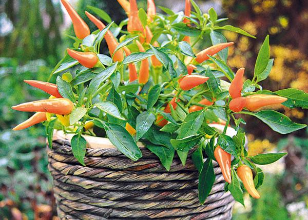 Kjeseni patrí aj množstvo farebných plodov, ktoré možno obdivovať na kroch astromoch, ale aj vo vegetačných nádobách. Vďačným spoločníkom jesene na balkóne či terase môže byť dekoratívna jednoročná paprička (Capsicum annuum). Prieskumy ukázali, že plody farebných papričiek dodávajú ľuďom vo svojom okolí energiu aprispievajú kdobrej nálade. Je to však podmienené aj ich konzumáciou. Konzumovať by sa ale mali až plody, ktoré dorastú na balkóne či terase, nie tie, ktoré má rastlina pri kúpe. Mohlo sa totiž stať, že bola ošetrovaná rôznymi chemickými látkami. Okrasné papričky si vyžadujú slnečné alebo polotienisté miesto, zalievať by sa mali nie na listy, ale na pôdu, potrebné je aj pravidelné prihnojovanie. Pred príchodom mrazov achladu sa musia preniesť do svetlej chladnej miestnosti, kde plody do Vianoc postupne dozrejú. Rastlinu je potom najlepšie zlikvidovať. Papričky vyniknú samostatne, ale aj vkombinovaných výsadbách.