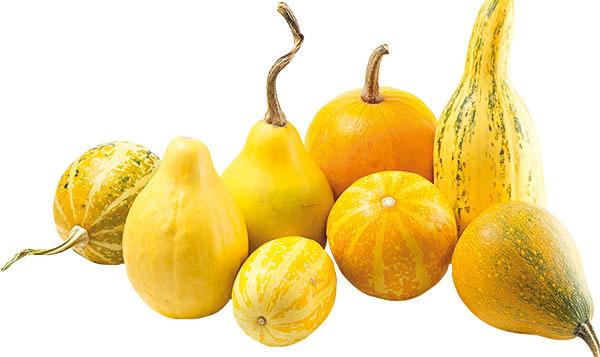 Tekvice pochádzajú zAmeriky, kde možno obdivovať aj plody menej známych kultivarov. Mnohé znich sú však vnetradičných tvaroch asfarbeniach dostupné už aj unás. Tekvica je vďačnou záhradnou rastlinou anie je zložité vypestovať ju aj na väčšom balkóne. Poslúžiť na to môžu aj semienka získané ztekvíc, ktoré sa použijú vkuchyni, no uplatnia sa aj semená zokrasných druhov. Stačí ich vysušiť auskladniť na suchom atmavom mieste. Tekvice môžu dekorovať okolie domu až do neskorej jesene. Dôležité je ich správne umiestnenie – na slnečnom apred dažďom chránenom mieste.