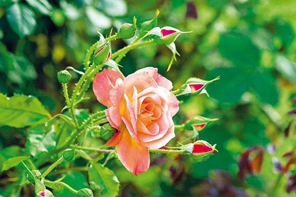 Voktóbri sa naskytá príležitosť doplniť si zbierku ruží novými atraktívnymi druhmi. Teraz sa rýchlejšie zakorenia aorok pekne zakvitnú. Vysádzať sa dajú rastliny skoreňovým balom (kontajnerové) aj bez neho. Pri výsadbe ruží bez koreňového balu je nutné dať pozor na to, aby bol koreň neporušený, dobre vyvinutý abez známok škodcov či hniloby. Korene ruží by počas prepravy zpredajne alebo trhoviska nemali vyschnúť – pri kúpe je preto dobré zabaliť ich do vlhkého papiera. Ruže by sa nemali sadiť na miesto, kde už vminulosti rástli. Ak nie je iná možnosť, bude nutné vymeniť na tomto mieste pôdu. Odporúča sa použiť substrát na pestovanie ruží, ktorý obsahuje všetky zložky potrebné na kvalitný vývoj. Kry treba pred výsadbou dôkladne prezrieť, výhony skrátiť asi na 20 cm avšetky poškodené, suché alebo viditeľne choré časti odstrániť. Pred výsadbou je dobré korene na štyri až päť hodín namočiť do vody. Vysádzajú sa do primerane veľkej jamy azasypú sa kvalitným substrátom tak, aby bol k